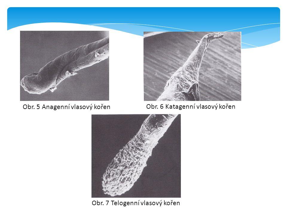 Obr. 5 Anagenní vlasový kořen