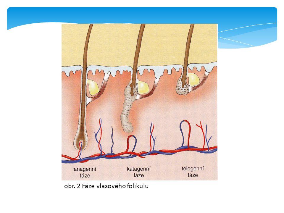 obr. 2 Fáze vlasového folikulu