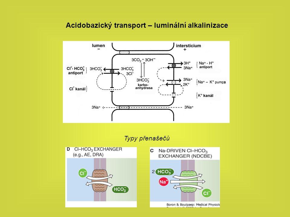 Acidobazický transport – luminální alkalinizace