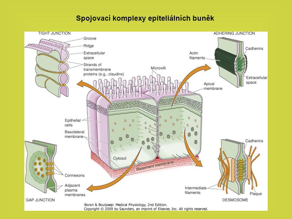 Spojovací komplexy epiteliálních buněk