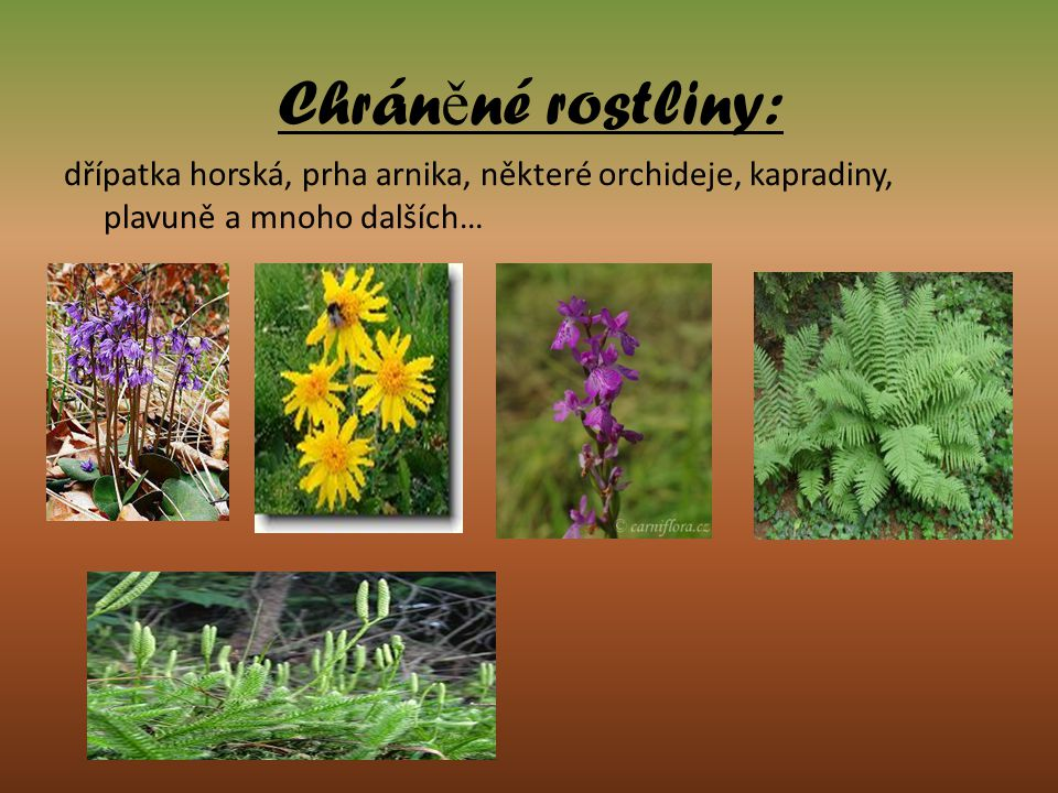 Chráněné rostliny: dřípatka horská, prha arnika, některé orchideje, kapradiny, plavuně a mnoho dalších…