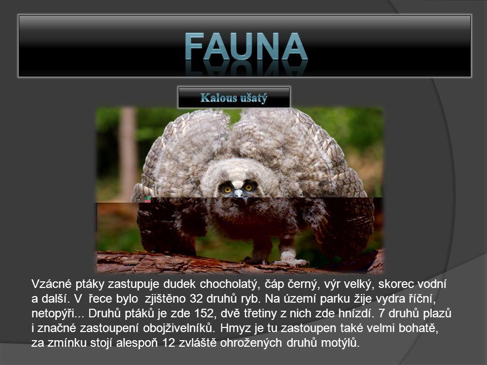 FAUNA Kalous ušatý.