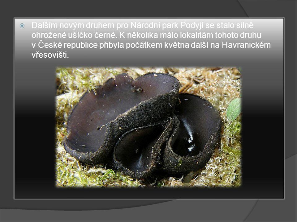 Dalším novým druhem pro Národní park Podyjí se stalo silně ohrožené ušíčko černé.