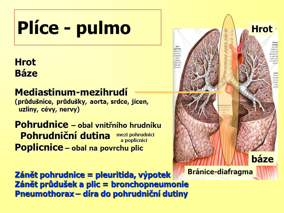 Plíce - pulmo Hrot Hrot Báze Mediastinum-mezihrudí