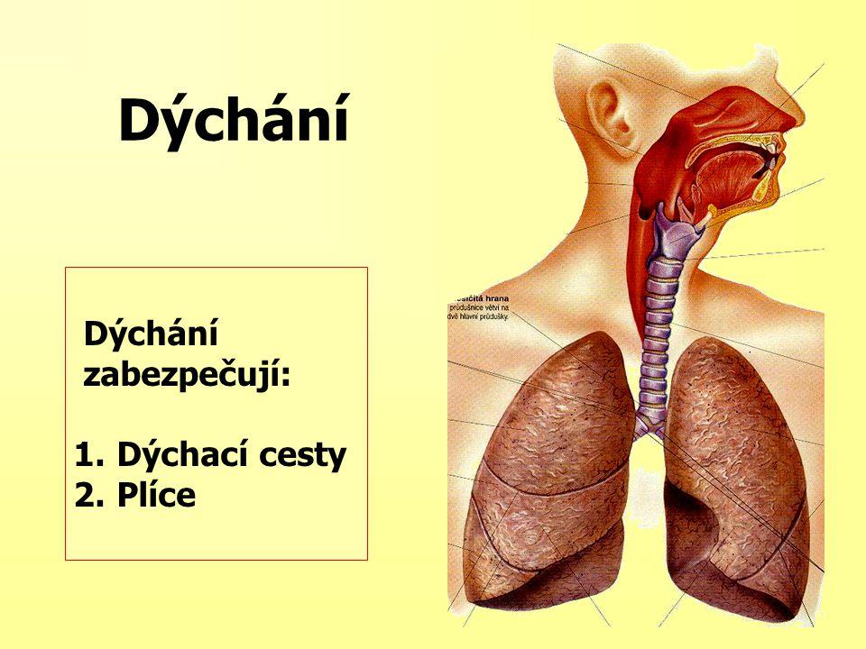 Dýchání Dýchání zabezpečují: Dýchací cesty Plíce
