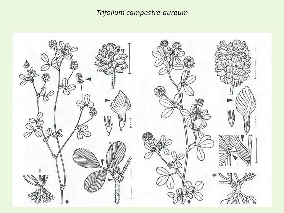 Trifolium campestre-aureum