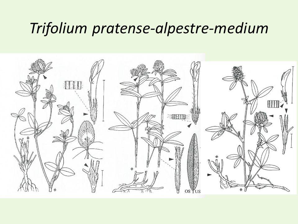 Trifolium pratense-alpestre-medium
