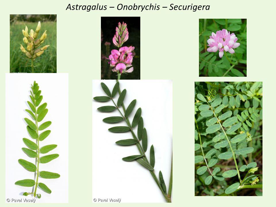 Astragalus – Onobrychis – Securigera
