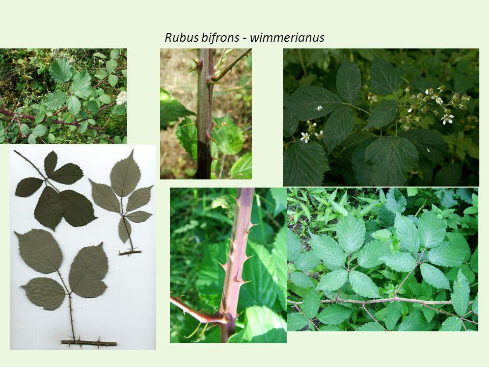 Rubus bifrons - wimmerianus