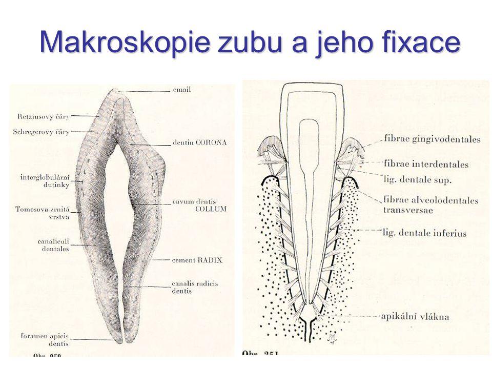 Makroskopie zubu a jeho fixace