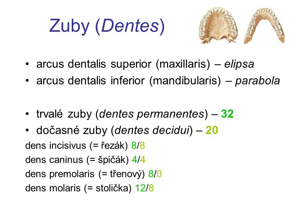Zuby (Dentes) arcus dentalis superior (maxillaris) – elipsa