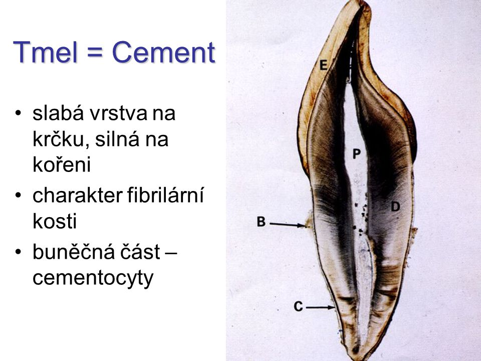 Tmel = Cement slabá vrstva na krčku, silná na kořeni