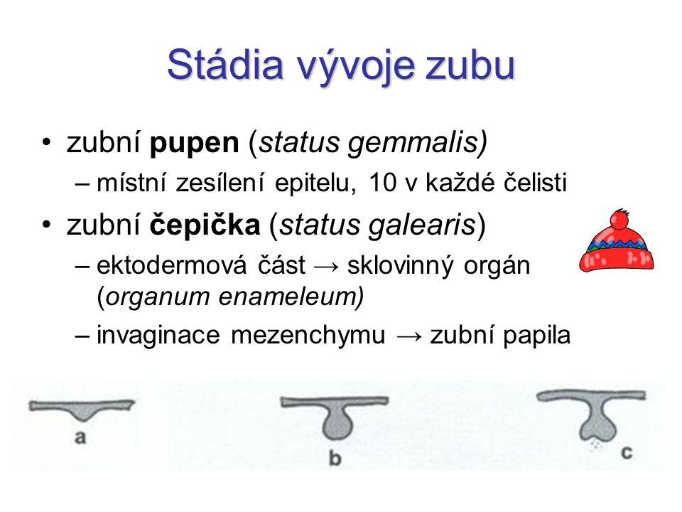 Stádia vývoje zubu zubní pupen (status gemmalis)