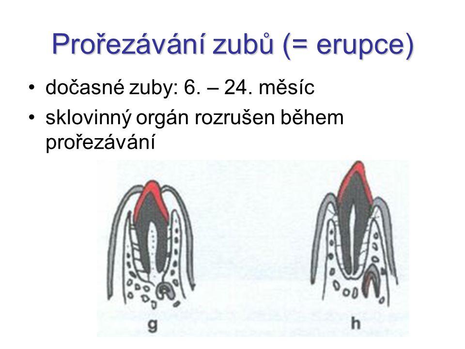 Prořezávání zubů (= erupce)