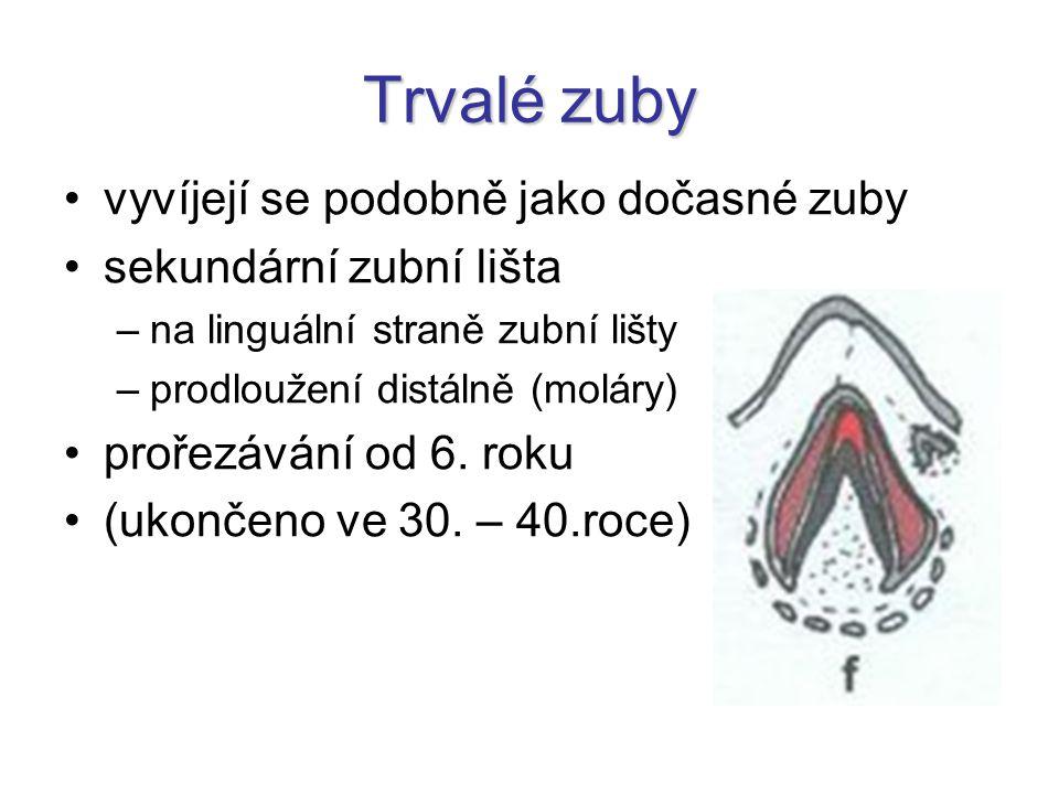 Trvalé zuby vyvíjejí se podobně jako dočasné zuby
