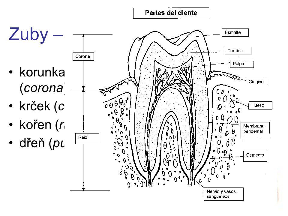 Zuby – části korunka (corona) krček (cervix) kořen (radix)