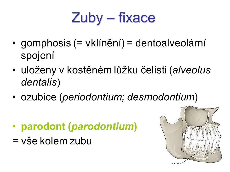Zuby – fixace gomphosis (= vklínění) = dentoalveolární spojení