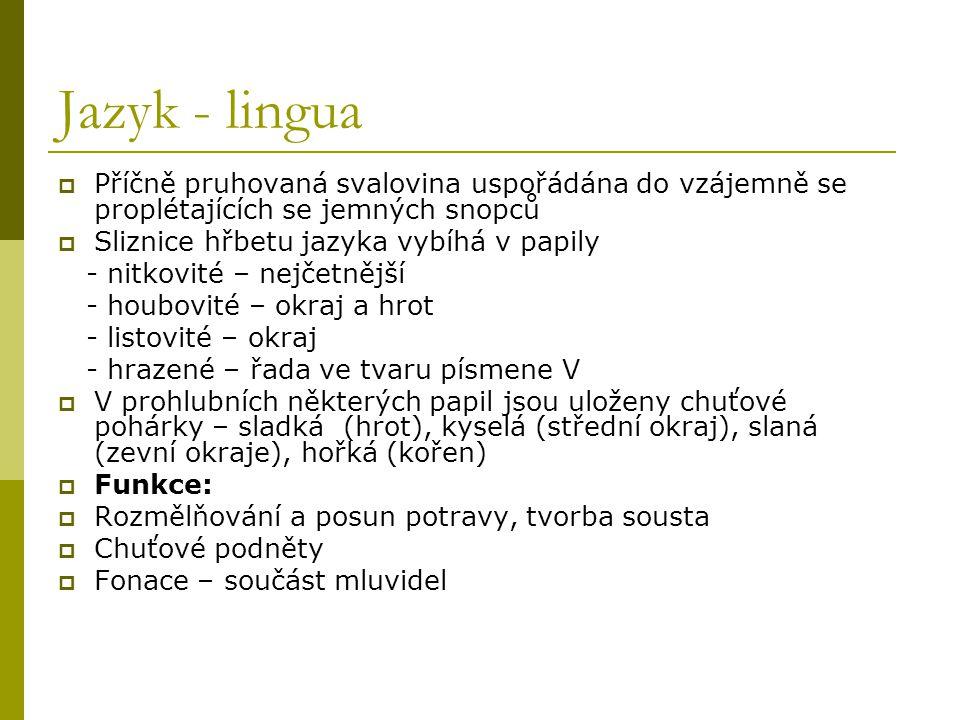 Jazyk - lingua Příčně pruhovaná svalovina uspořádána do vzájemně se proplétajících se jemných snopců.