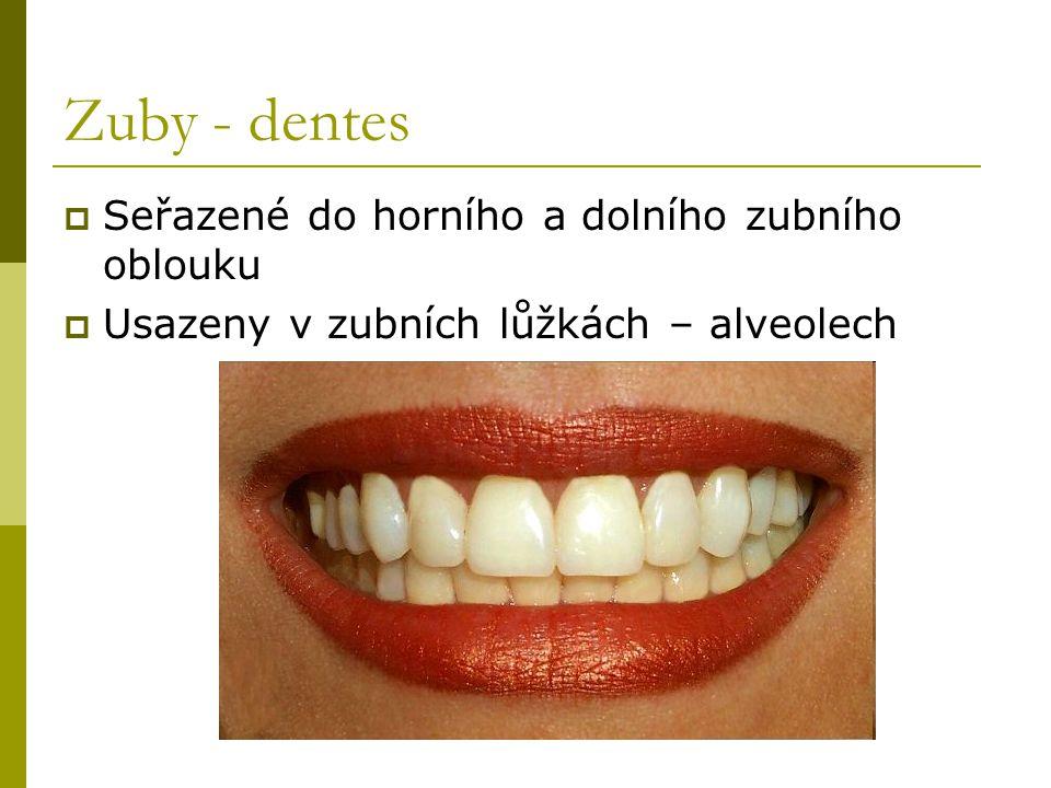 Zuby - dentes Seřazené do horního a dolního zubního oblouku