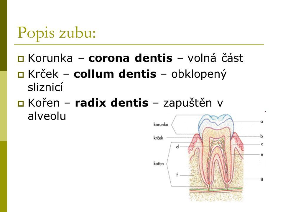 Popis zubu: Korunka – corona dentis – volná část