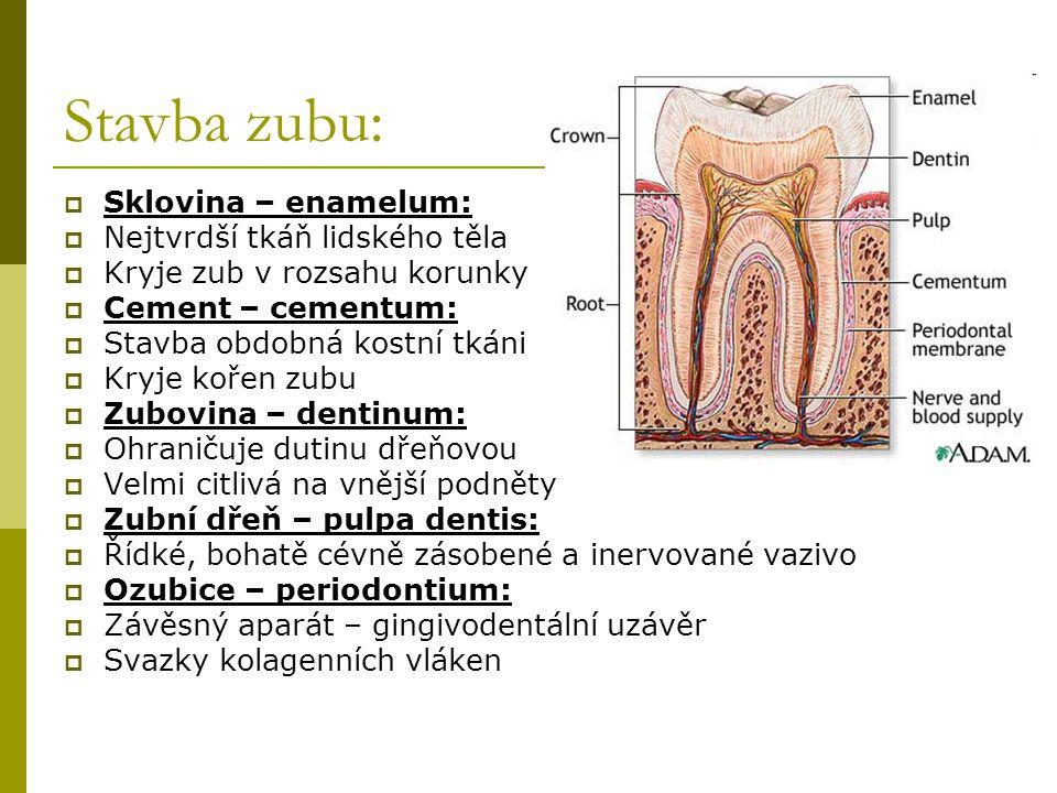 Stavba zubu: Sklovina – enamelum: Nejtvrdší tkáň lidského těla