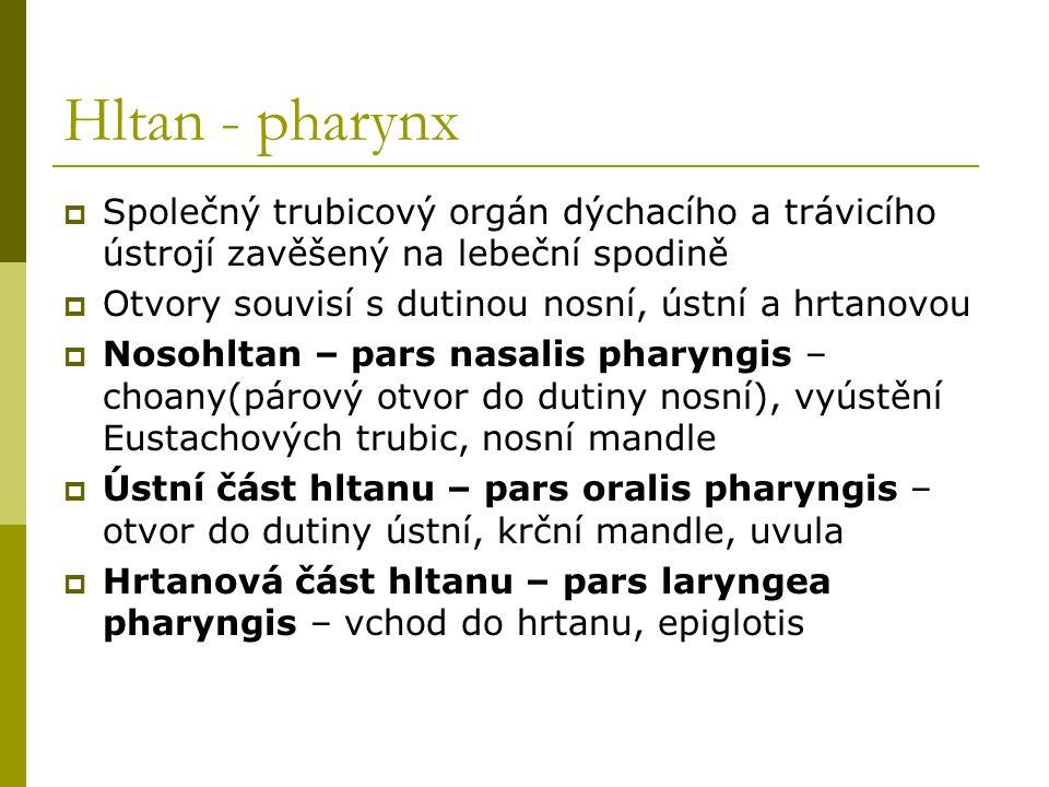 Hltan - pharynx Společný trubicový orgán dýchacího a trávicího ústrojí zavěšený na lebeční spodině.