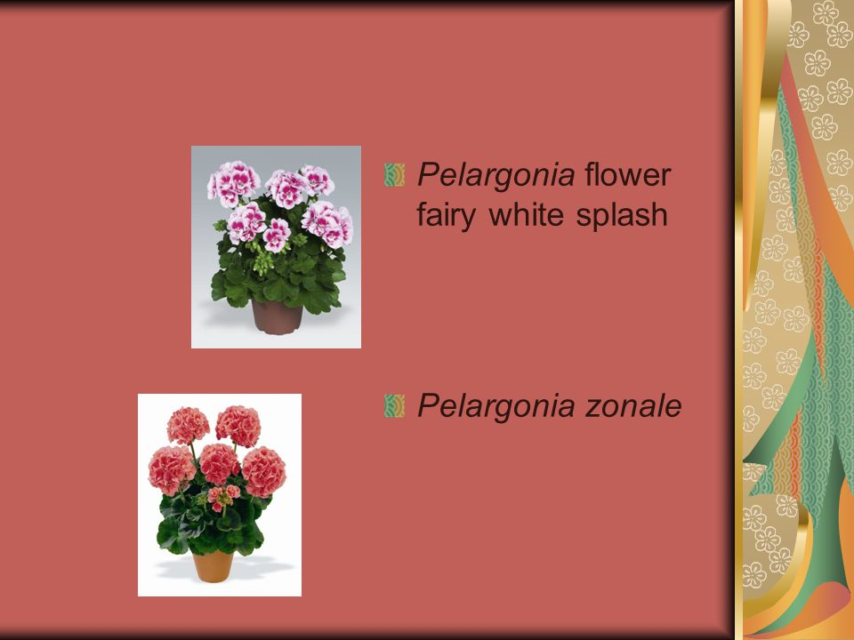 Pelargonia flower fairy white splash