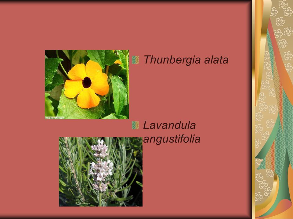 Thunbergia alata Lavandula angustifolia