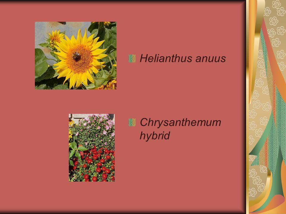 Helianthus anuus Chrysanthemum hybrid