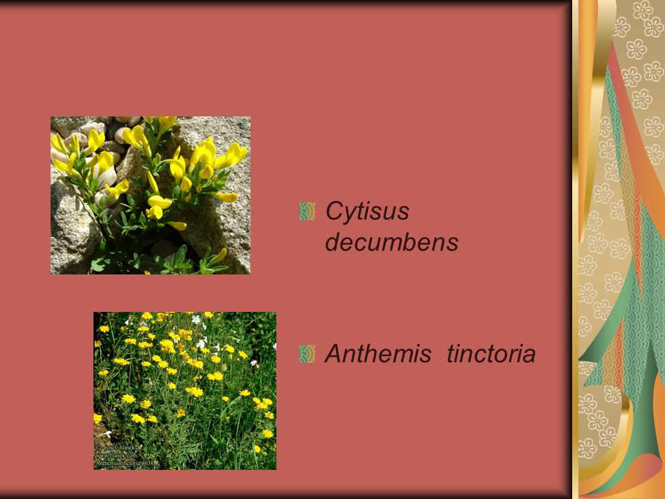 Cytisus decumbens Anthemis tinctoria
