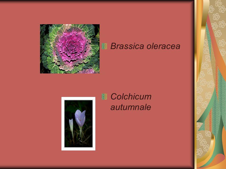 Brassica oleracea Colchicum autumnale