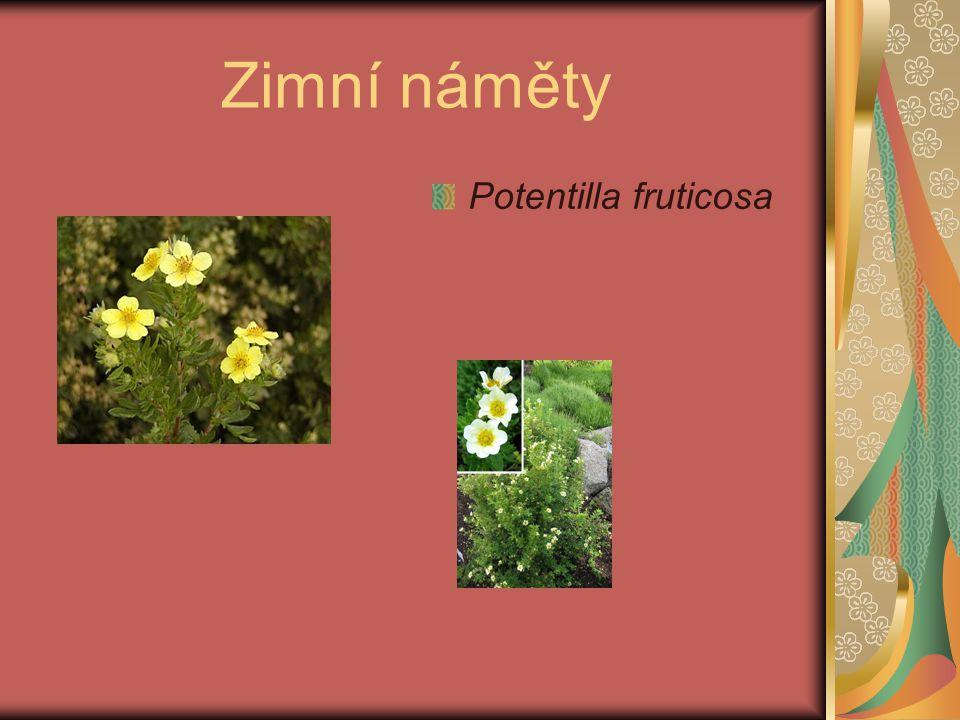 Zimní náměty Potentilla fruticosa