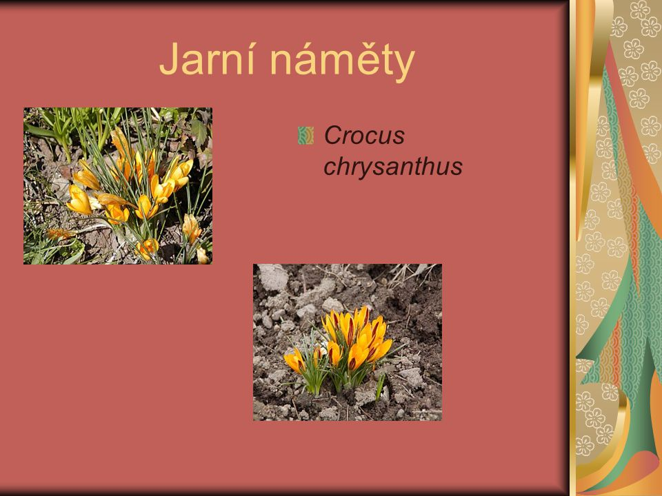 Jarní náměty Crocus chrysanthus