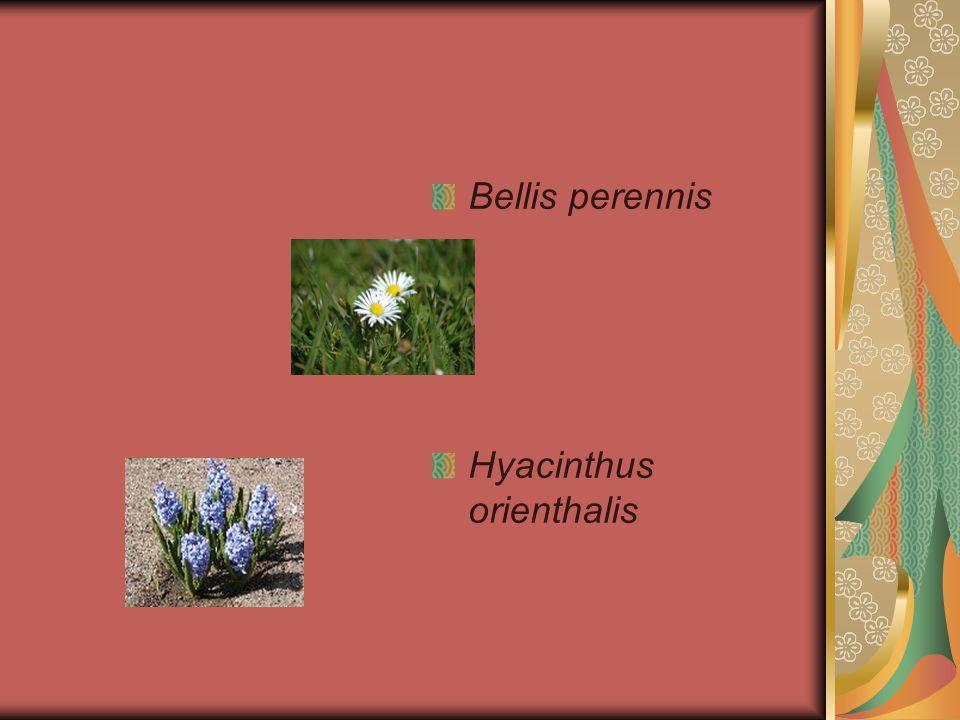 Bellis perennis Hyacinthus orienthalis