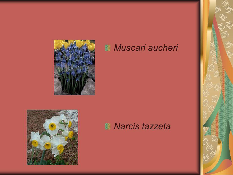 Muscari aucheri Narcis tazzeta