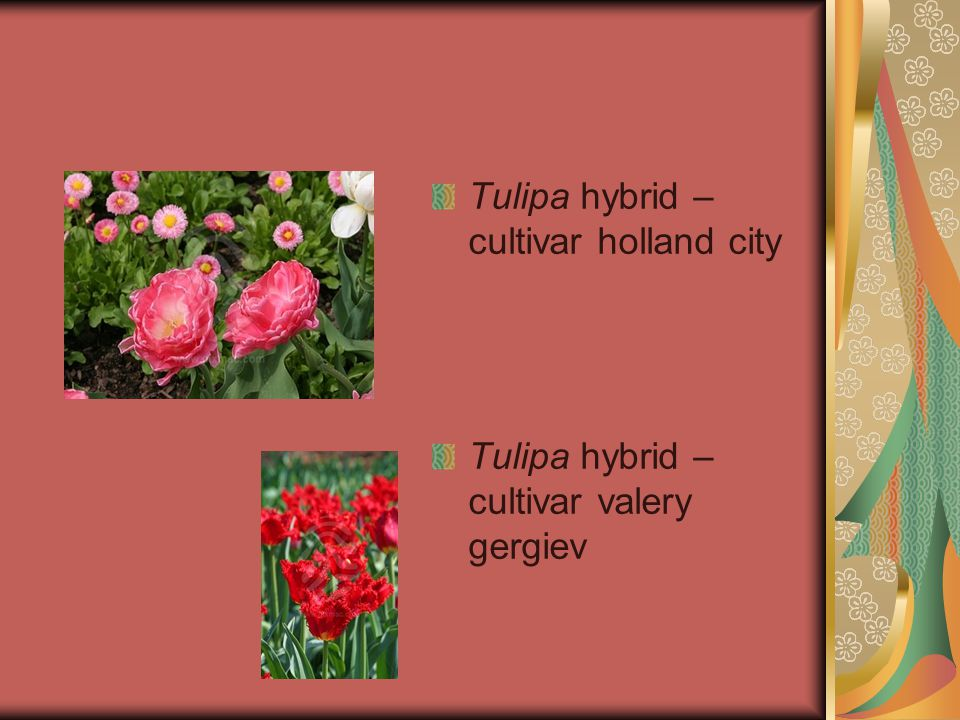 Tulipa hybrid – cultivar holland city