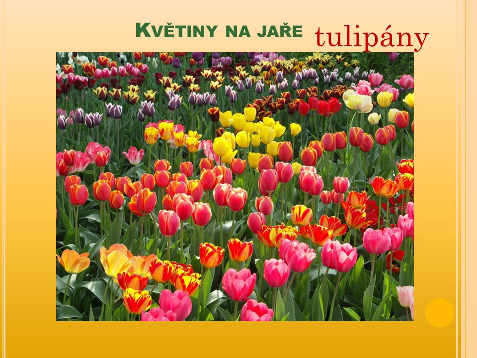 Květiny na jaře tulipány
