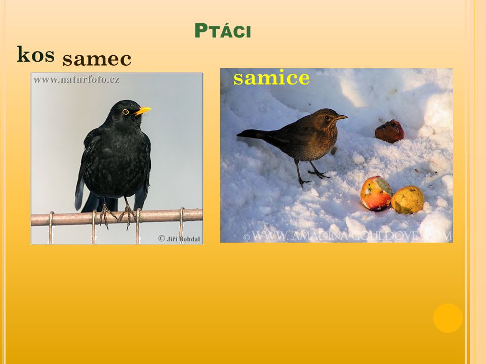 Ptáci kos samec samice