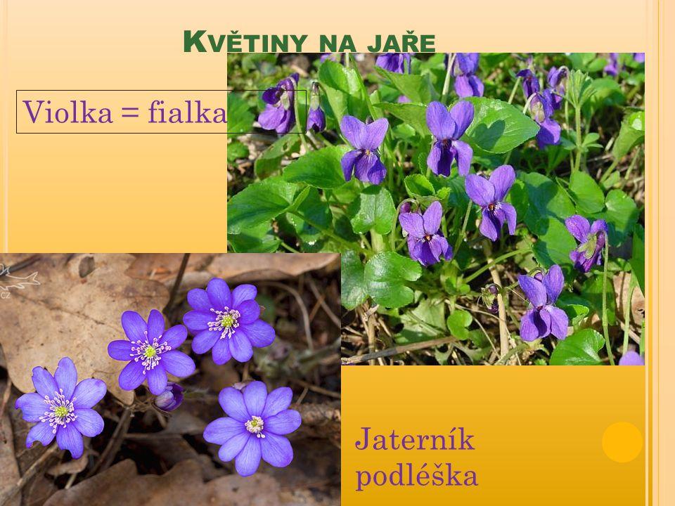 Květiny na jaře Violka = fialka Jaterník podléška