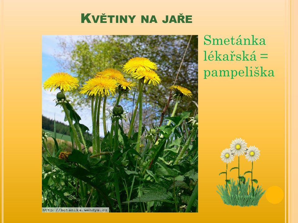 Květiny na jaře Smetánka lékařská = pampeliška
