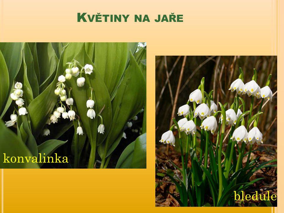 Květiny na jaře konvalinka bledule