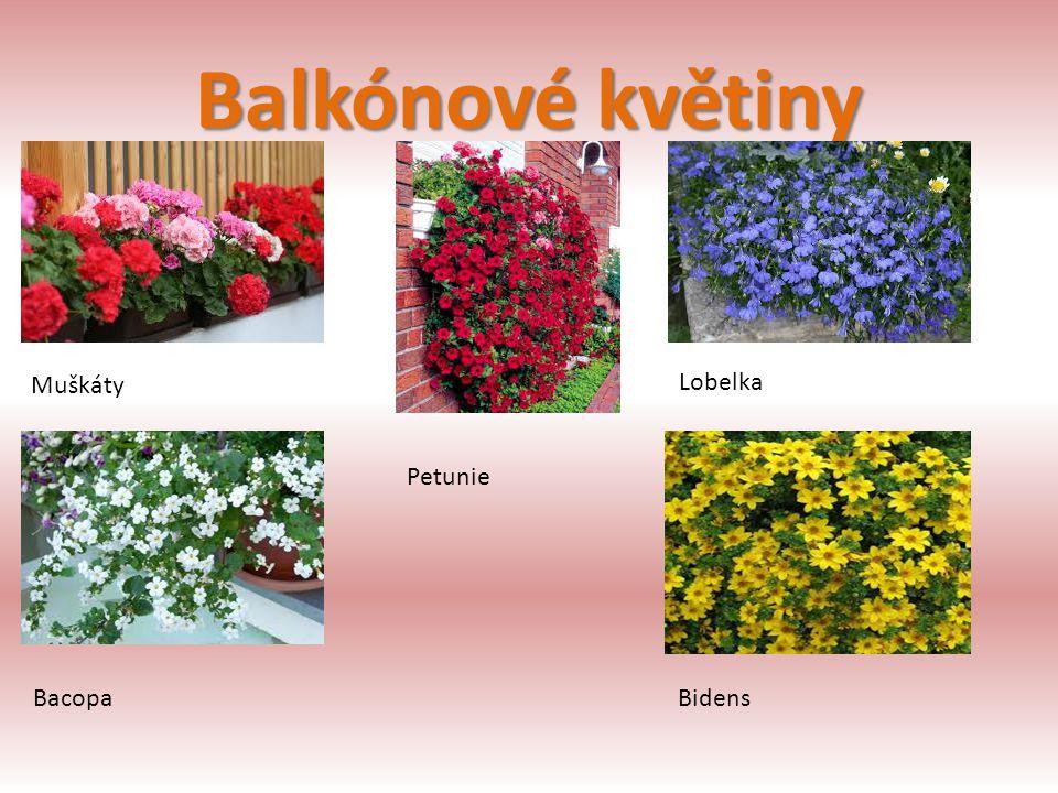 Balkónové květiny Muškáty Lobelka Petunie Bacopa Bidens