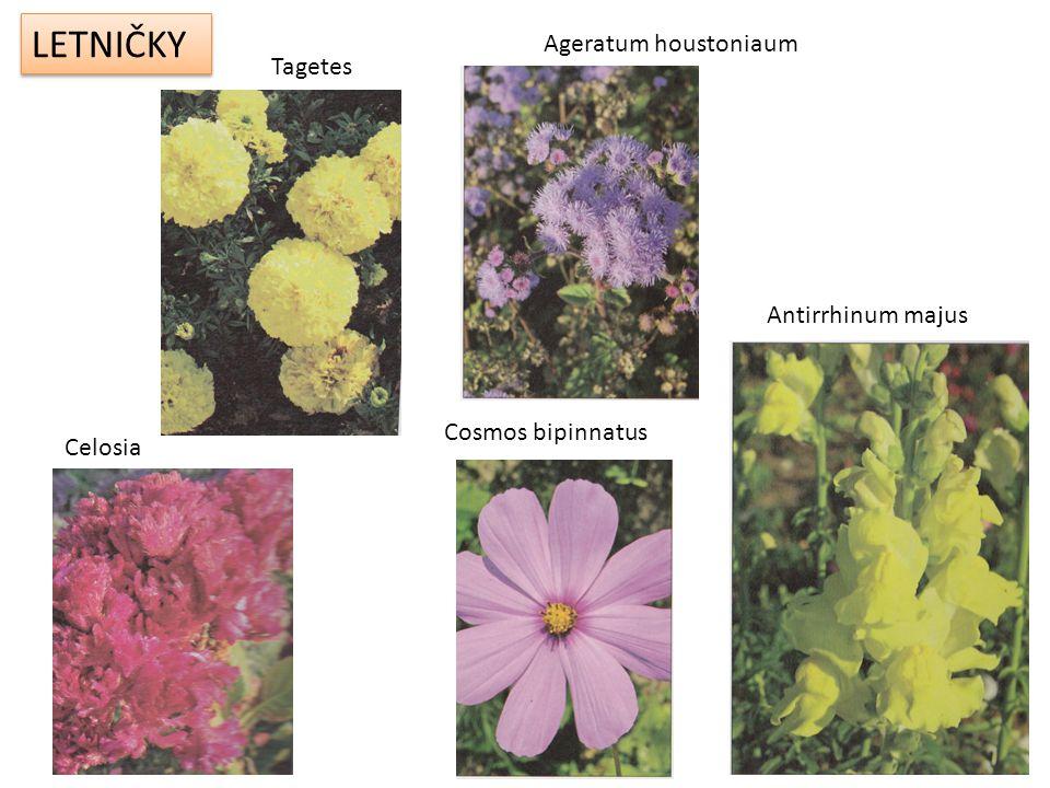 LETNIČKY Ageratum houstoniaum Tagetes Antirrhinum majus