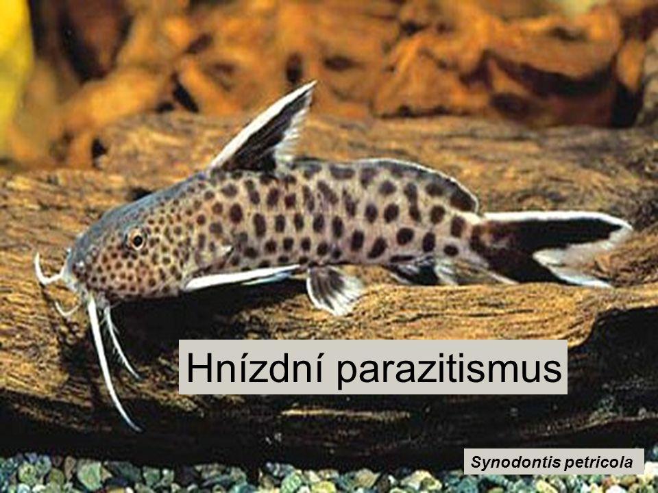 Hnízdní parazitismus Synodontis petricola