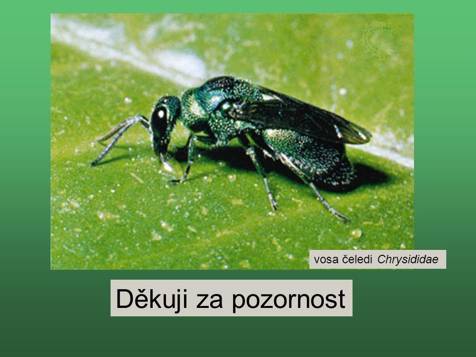 vosa čeledi Chrysididae
