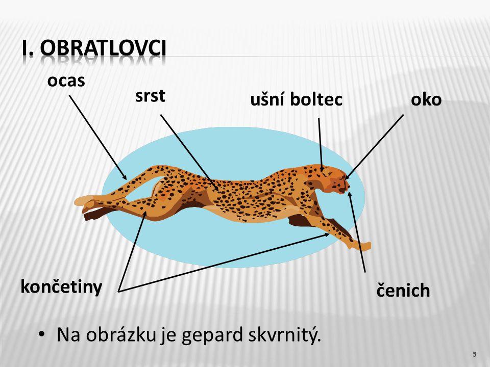 I. OBRATLOVCI Na obrázku je gepard skvrnitý. ocas srst ušní boltec oko