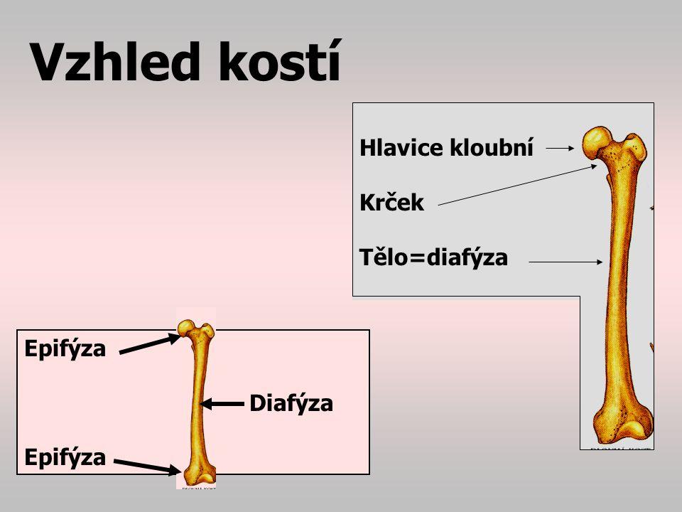 Vzhled kostí Hlavice kloubní Krček Tělo=diafýza Epifýza Diafýza