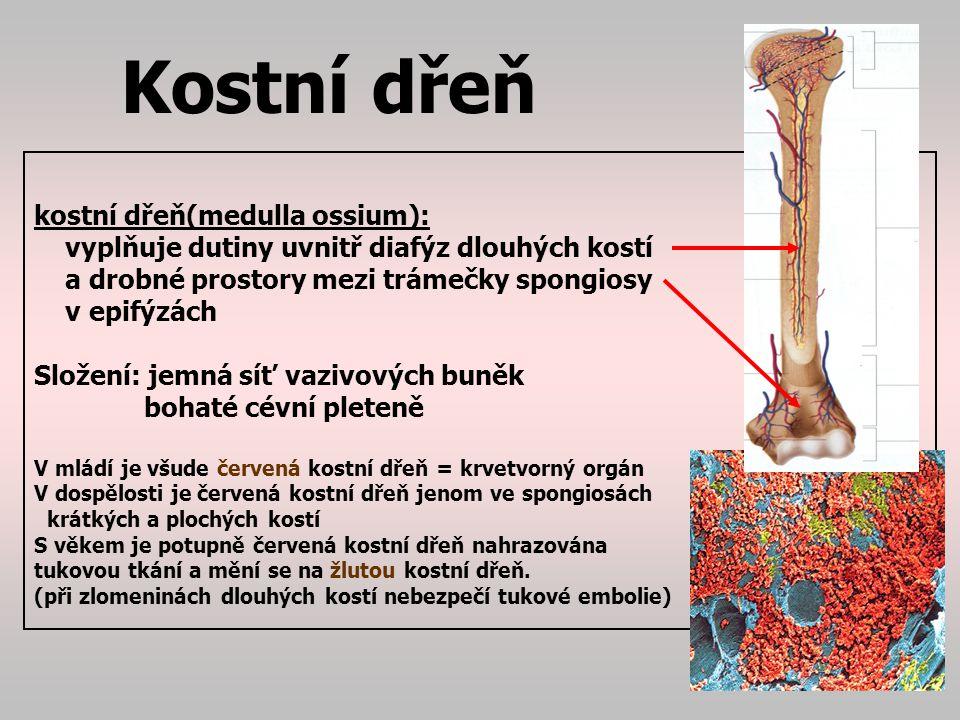 Kostní dřeň kostní dřeň(medulla ossium):