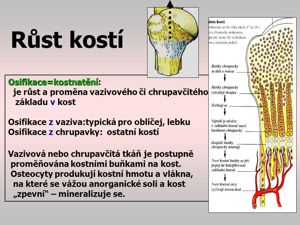 Růst kostí Osifikace=kostnatění: