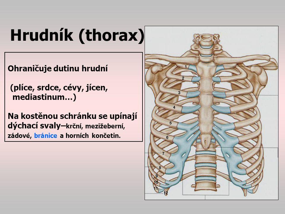 Hrudník (thorax) Ohraničuje dutinu hrudní (plíce, srdce, cévy, jícen,